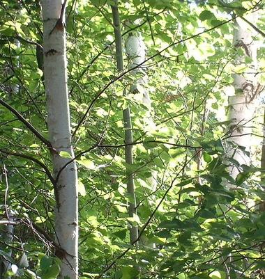 Birch_2